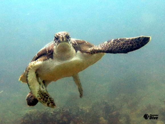 Les tortues marines
